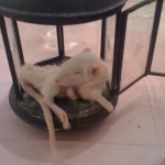 Rat Taxidermy